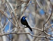 Common Grackles are blackbirds that look like they've been slightly stretched. They're taller and longer tailed than a typical blackbird, with a longer, more tapered bill and glossy-iridescent bodies. poster
