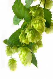 Isolated image of a branch of hops on a white background closeup
