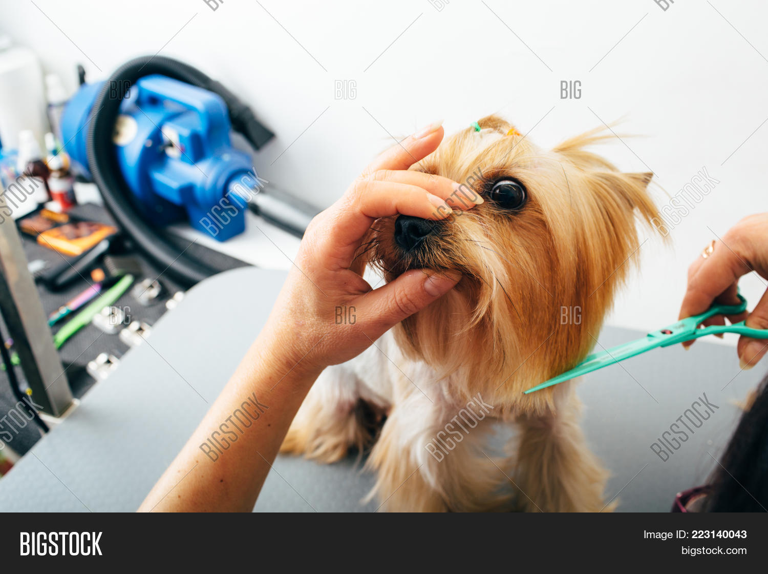 Yorkshire Terrier Image Photo Free Trial Bigstock