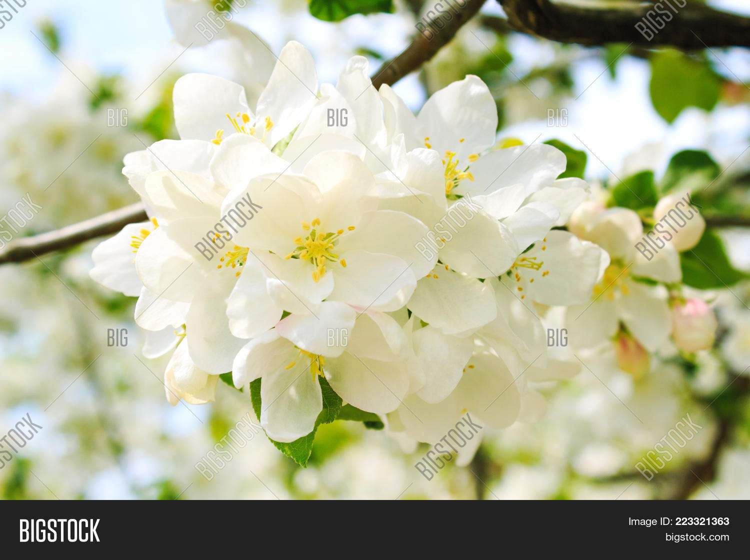 Large White Flowers On Image Photo Free Trial Bigstock