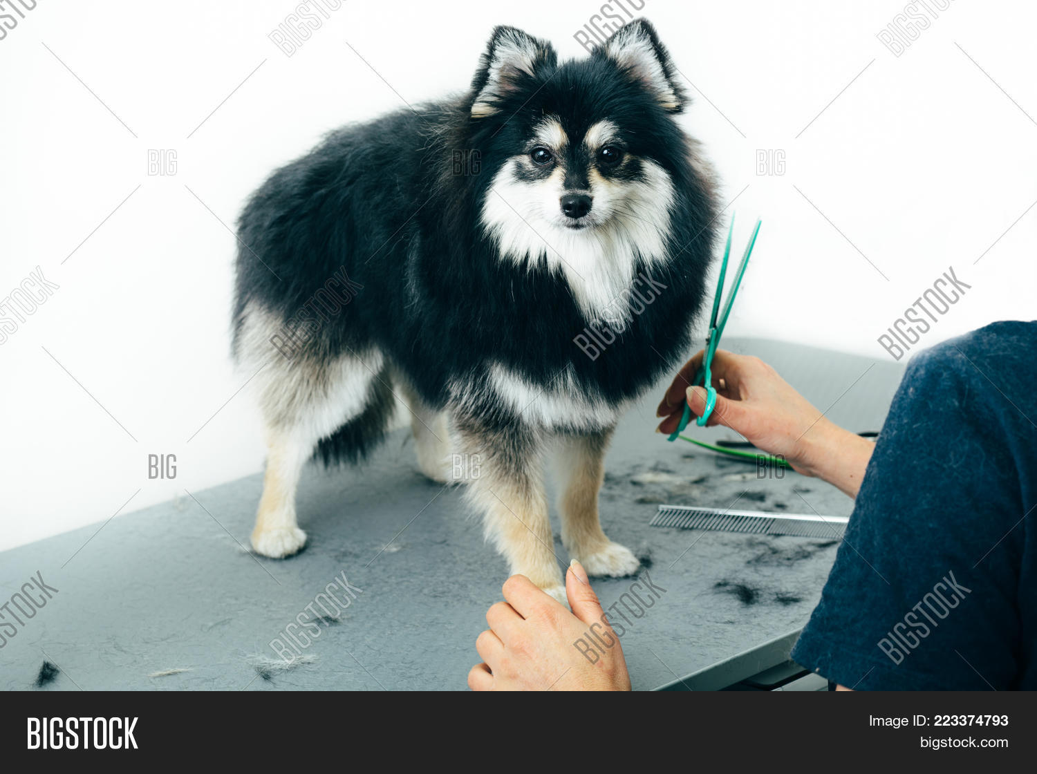 Black Pomeranian Spitz Image Photo Free Trial Bigstock