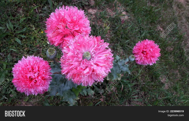 Pink Poppy Flower Image Photo Free Trial Bigstock