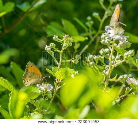 meadow brown butterflies in natural sunny ambiance