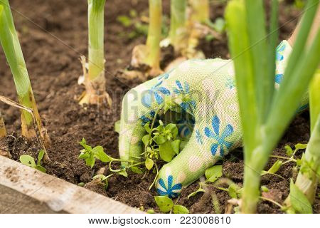 Female Gardening Weeding Weed Plants Grass In Vegetable Beds Of Onion Close Up. Weed Removal. poster