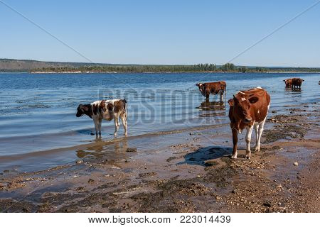 Cows are cooling in river Volga on hot summer afternoon.