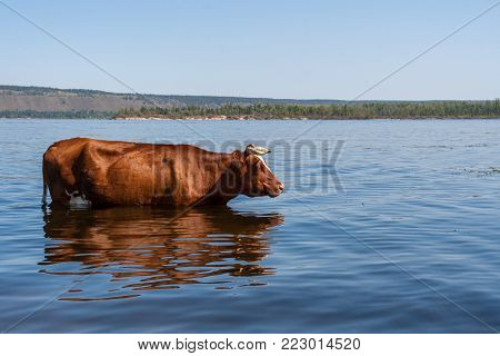 One big brown cow is standing in Volga river and freshing in it in hot summer day.