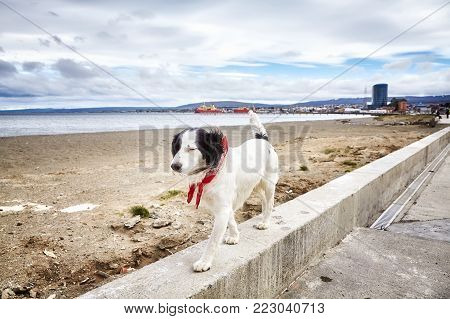 Unleashed dog walks on wall by a beach.