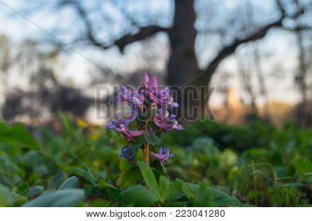 First spring flowers of Corydalis hollow-root on the sunset background with huge oak tree.