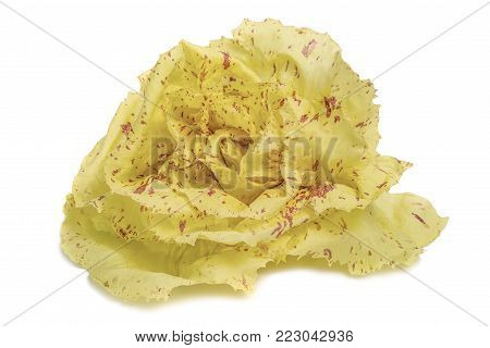 variegated Chicory isolated on a white background