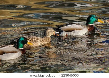 A female mallard duck flanked by two drakes