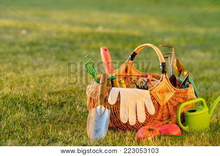 Gardening tools in wicker basket and watering can on grass. Freshly harvested tomatoes, organic food concept.