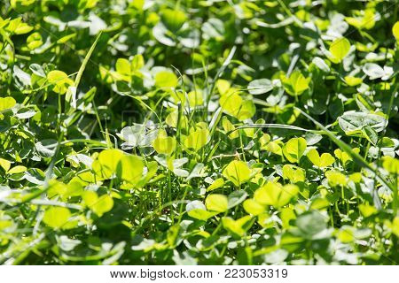 clover in nature . Photo of an abstract texture
