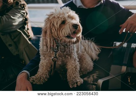 Cute maltese dog sitting on his owner's lap during the boat ride.