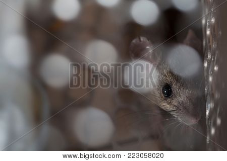 Rat trapped in a cage mouse trap inside at home.