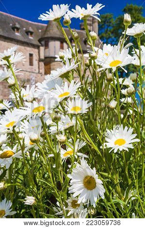 PLOEZAL, FRANCE - JULY 3, 2010: fresh daisy flowers and view of medieval castle Chateau de la Roche-Jagu in Cotes-d'Armor department of Brittany in sunny summer day. The castle was built in 1418.