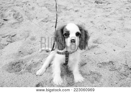 dog or cavalier king charles spaniel puppy, small, little pet with white coat, long brown ears and adorable eyes on sunny day sitting on natural sand. Friend, friendship. Empathy