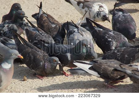 The wild pigeons were so called urban Doves, carrier pigeons are pigeons stemming from domestic pigeons who returned to the nature. The domestic pigeon was originally brought up by the wild dove of rock, which lives naturally in sea cliffs and in mountain