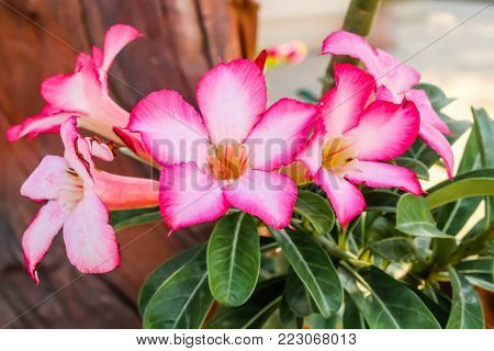Close up of pink Impala Lily flowers,Impala Lily,Desert rose flower from tropical climate