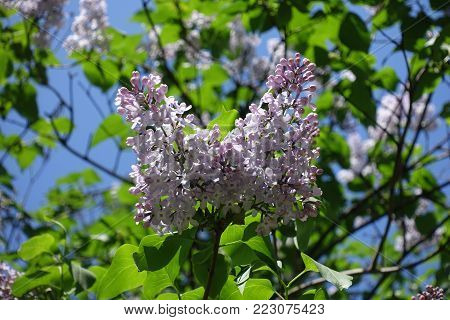 Four lobed flowers of lilac in spring