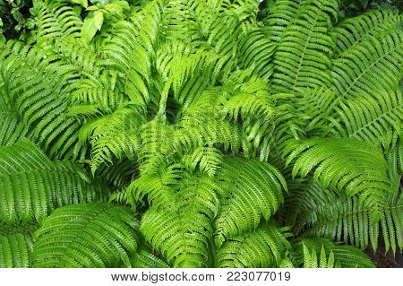 Fern thicket, green, healthy leaves in intense color