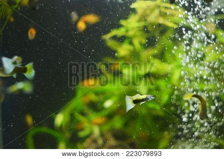 Guppie in aquarium with bubbles. The photo is made in green and black colors. The eye is focused on a small fish Poecilia reticulata. You can see other representatives of the underwater world in the background.