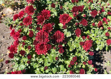 Carmine flowers of Chrysanthemum in autumn garden