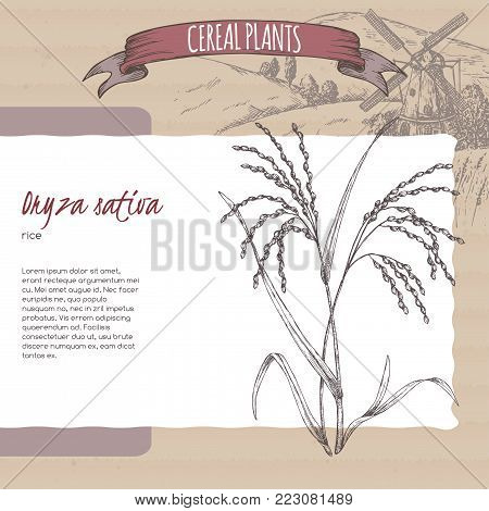Asian rice aka Oryza sativa sketch with field landscape. Cereal plants collection. Great for bakery, agriculture, farming design.