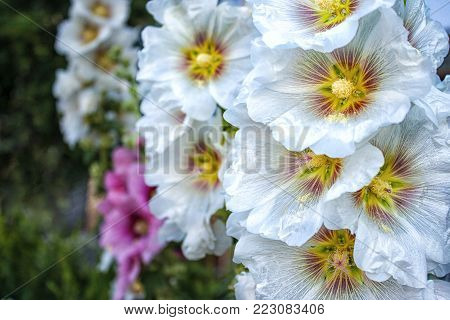 bright white and pink flowers mallow outdoor on summer day
