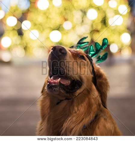 Portrait Of Golden Retriever With Bokeh