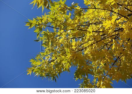 Colorful autumn leaves of Fraxinus pennsylvanica against blue sky