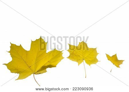 Three autumn maple leaves on a yellow background. Top view