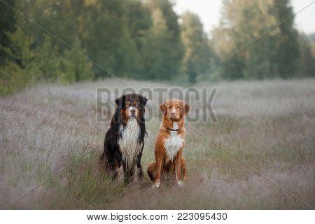 Nova Scotia Duck Tolling Retriever And Australian Shepherd. Two Dogs Outdoors