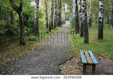 A birch wood forest in the summe