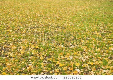 Yellow leaves on green grass. Fallen autumn leaves on grass in sunny light. Dry leaves. Bright fresh green grass and dry fallen autumn leaves in city park. Beautiful autumn nature background