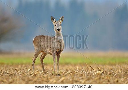 Wild roe deer standing in a field
