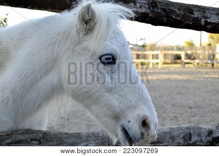 White horse portrait, horse with blue eyes. Ranch