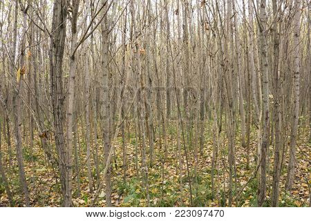 young forest in late autumn without leaves