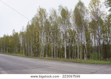 A single lane highway with a sharp bend in the road. There's a single yellow line in the middle of the road. There's lots of birch and evergreen trees along the side of the road