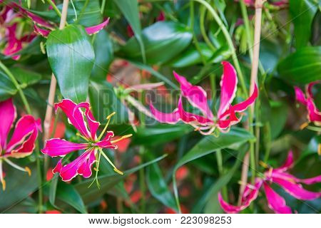 Small red flowers with six petals seen close up.