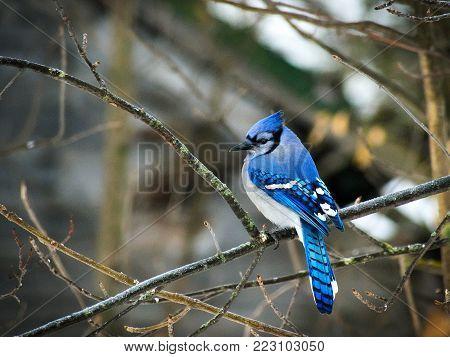 Beautiful bluejay bird - corvidae cyanocitta cristata - perched on branch