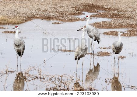 A Group of Sandhill Cranes Wade in a Pond