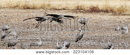 A Sandhill Crane Pair Glides In, Rejoining its Winter Surivival Group at Whitewater Draw, Arizona
