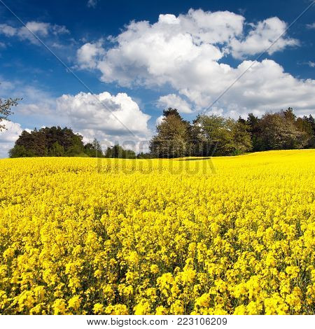 Field of rapeseed, canola or colza in Latin Brassica napus with beautiful cloudy sky, rape seed is plant for green energy and green industry, springtime golden flowering field