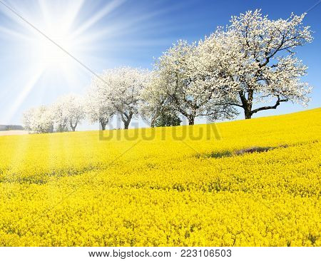 field of rapeseed, canola or colza in latin Brassica Napus, sun and alley of flowering cherry trees - rape seed is plant for green energy and oil industry - spring time view