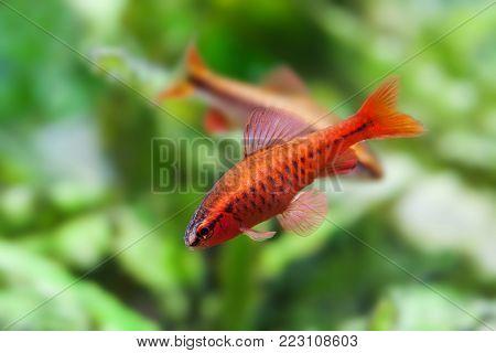 Aquaria still life scene, colorful freshwater fishes aquarium tank macro view, shallow depth of field. Cherry barb male fishes Puntius titteya Cyprinidae