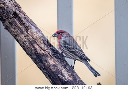 Adult Male House Finch, carpodacus mexicanus, perched on a branch.