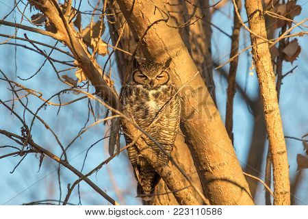 Great horned owl roosting in a tree in the autumn