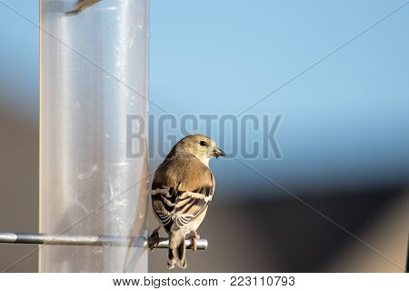 A wild American goldfinch sets on a feeder looking for food