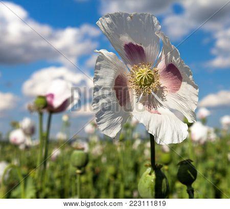Detail of flowering opium poppy in Latin papaver somniferum, poppy field, white colored poppy is grown in Czech Republic
