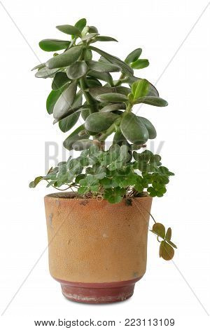 jade plant, friendship tree, lucky plant,  money tree in a pot on a white background, isolated